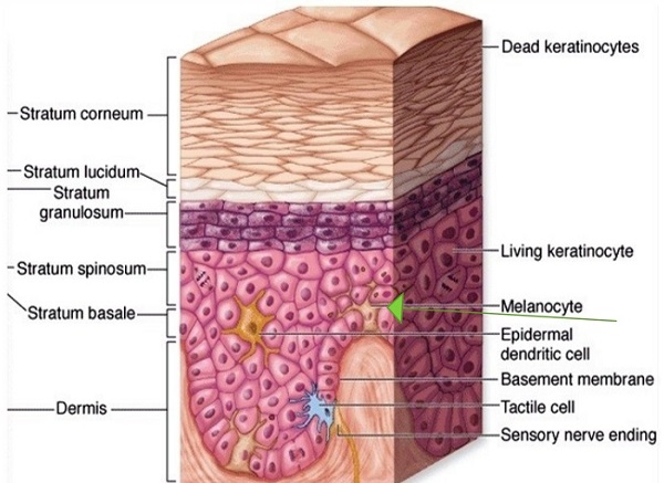 Image result for 5. order the layers of the epidermis from outermost to deepest